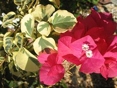 Raspberry Ice Bougainvillea