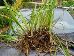 Iris freshly dug