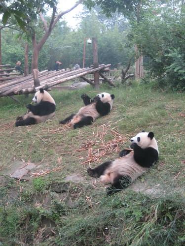 three_pandas_1