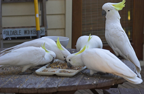 Cockatoos breakfasting