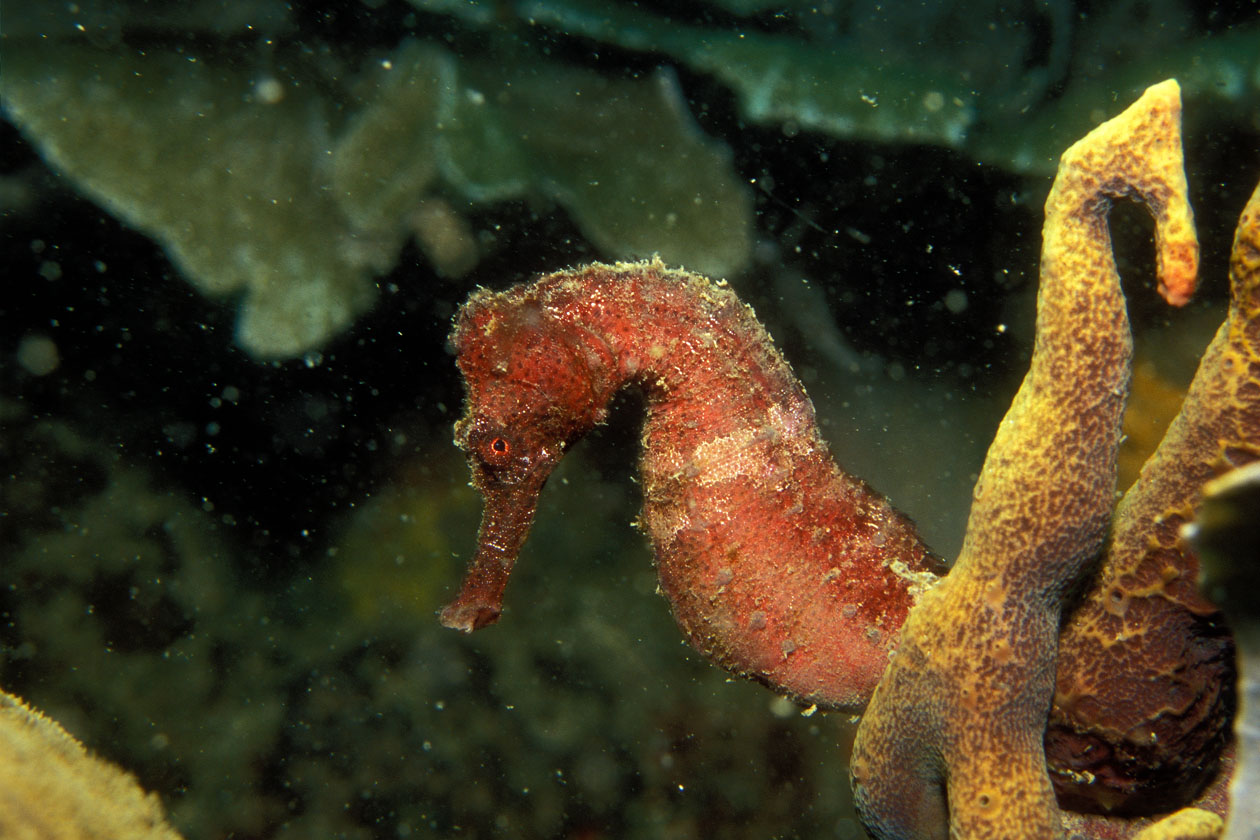 the life of the underwater seahorse Find this pin and more on fishies in the sea by underwater animals underwater life underwater creatures seahorse aquarium seahorse tank marine aquarium sea.