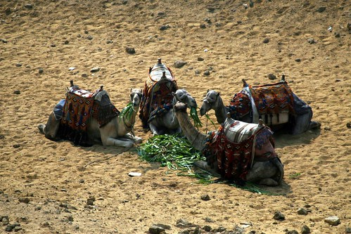 Hungry, hungry camels