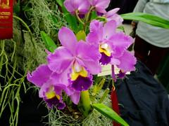 Cattleya type