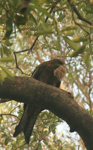 IMG_0342 Black Kite and Nesting Material (3)
