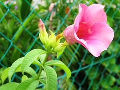 Allamanda blanchetii (Cherry Allamanda)