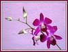 Dendrobium 'Deang Suree'