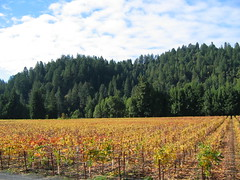 Russian River grapevines