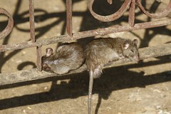sleepingRats2