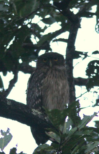 IMG_0132 Brown Fish Owl