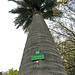 Chilean Wine Palm (4514)