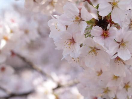 新宿御苑の桜01