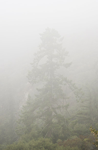 foggy_tree