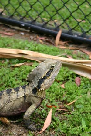 Lizard roams free