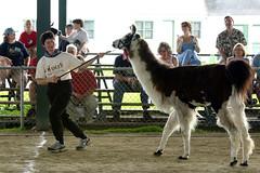 C'mon Llama