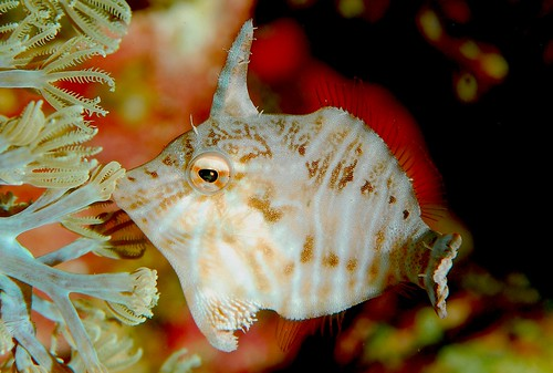 Tread-sail Filefish