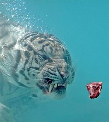 tiger swims