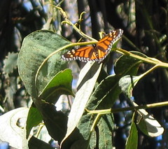 Santa Barbara - Monarch Butterfly grove