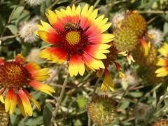 New Mexico Bee
