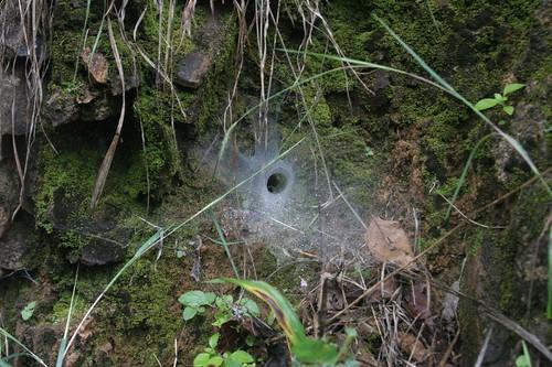 IMG_0044 Wolf spider's nest
