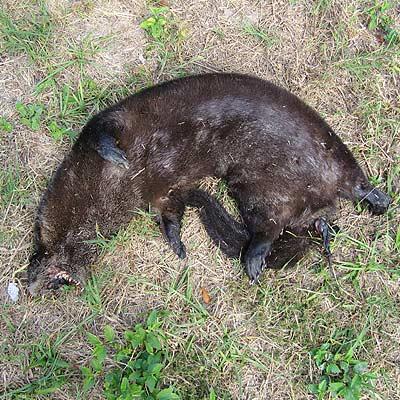 Otter-road-kill-side