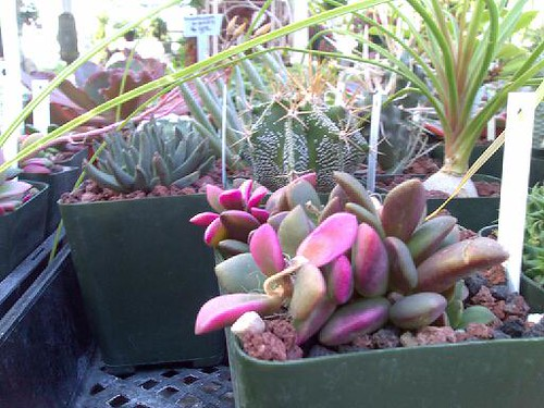 More Succulents at M&M Nursery