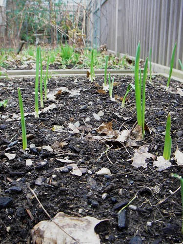 garlic sprouts - dec 6