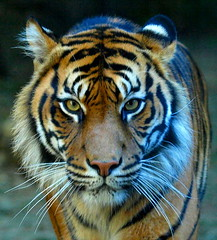 TIGER photo by maureen_g