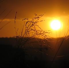 Sunset Grass - Alison's Crop