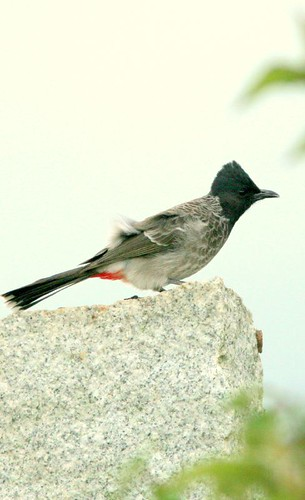 IMG_0169 Red-Vented Bulbul
