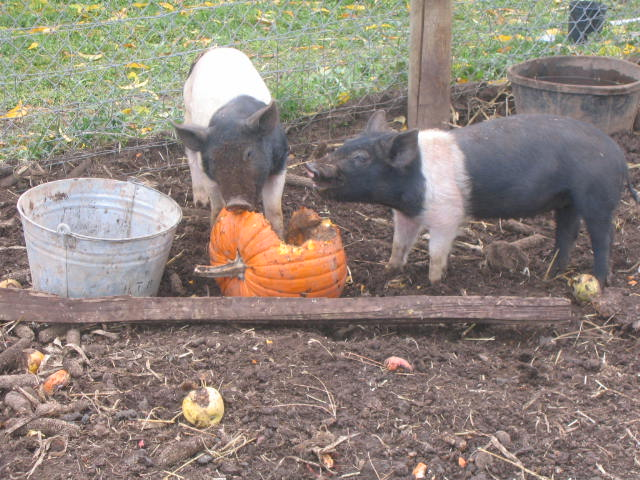 Piggies and Pumpkins