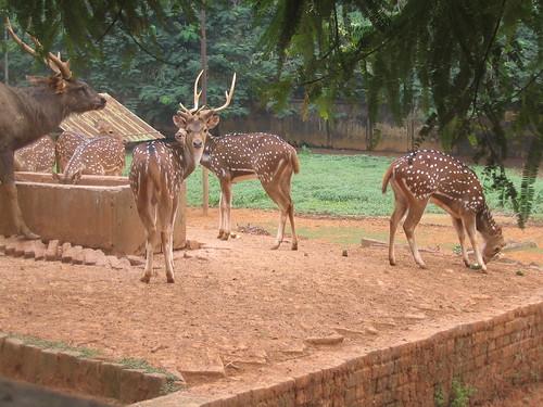 Chitrol horin, Deers