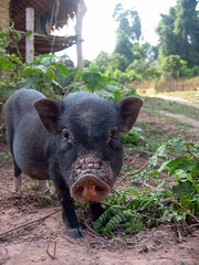 Pig in Nalan Khmu village - Nam Ha River