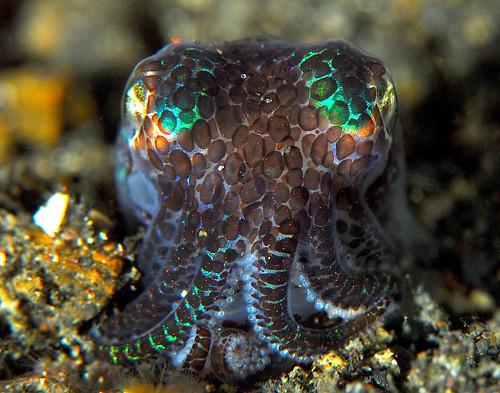 Bobtail cuttlefish