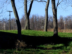 black walnut trees