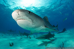 Tiger sharks and lemon sharks photo by echeng