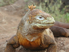 Galapagos Land Iguana (by ChrisIrmo)