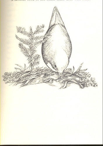bird illustration, 1966