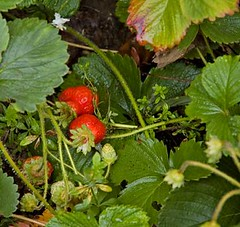 october strawberries