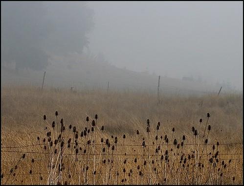 Thistles in Fog