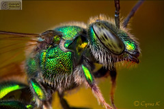 Sweat-Bee, The Magnificent Metallic Bee photo by Cyrus khamak