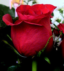 The Roses...are Red photo by Leti-ta