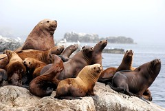 sea lion family portrait photo by unfocused mike