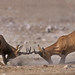 Red Hartebeest Rams fighting by WildImages