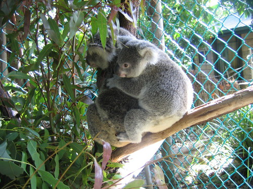 baby_koala_1
