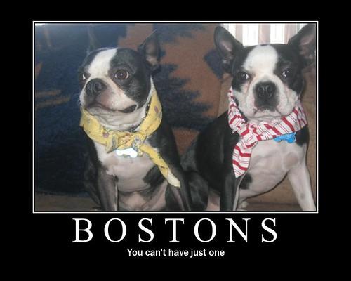 bostons!