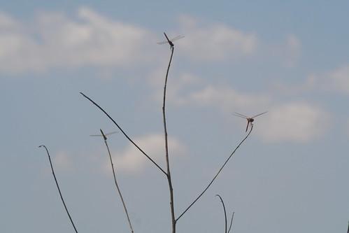 Dragonflies at Fogg Dam