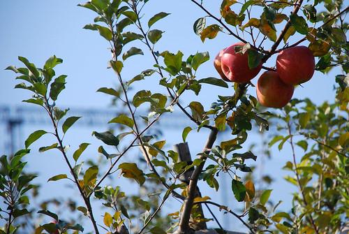 長野 松本 - 林檎の木