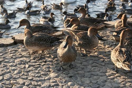 鴨子 (天鵝的幼鳥?)