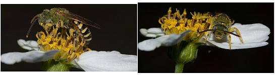 Bee pictures, by Steve325 with Nikon D50 + Phoenix 100mm f/3.5 macro lens