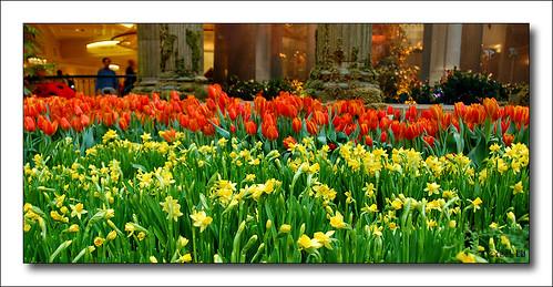 mirage tulips